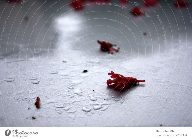 Old White Flower Plant Red Blossom Rain Wet Drops of water Rose Broken Change Fragrance Individual Limp