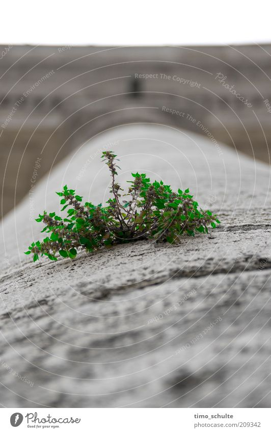 Shrub on column Environment Plant Bushes Town Stone Growth Green Colour photo Exterior shot Close-up Copy Space top Copy Space bottom Day Deep depth of field