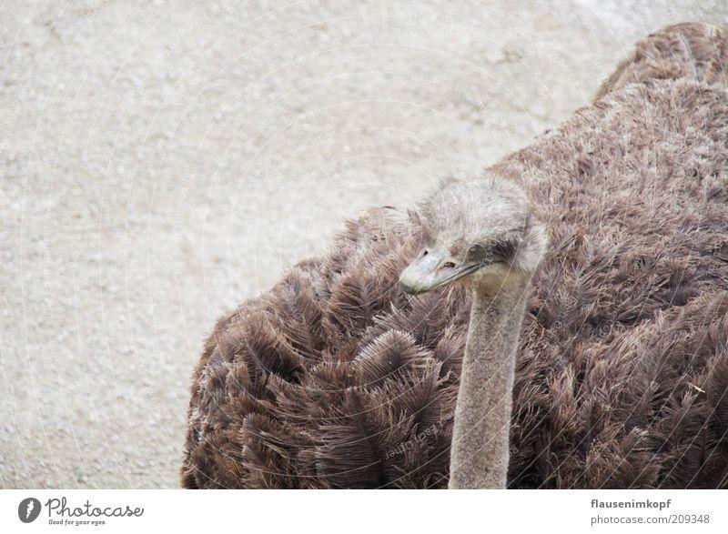 struthio camelus Summer Animal Wild animal Bird Zoo 1 Observe Looking Wait Cuddly Curiosity Brown Gray Serene Calm Ostrich Flightless bird Partially visible