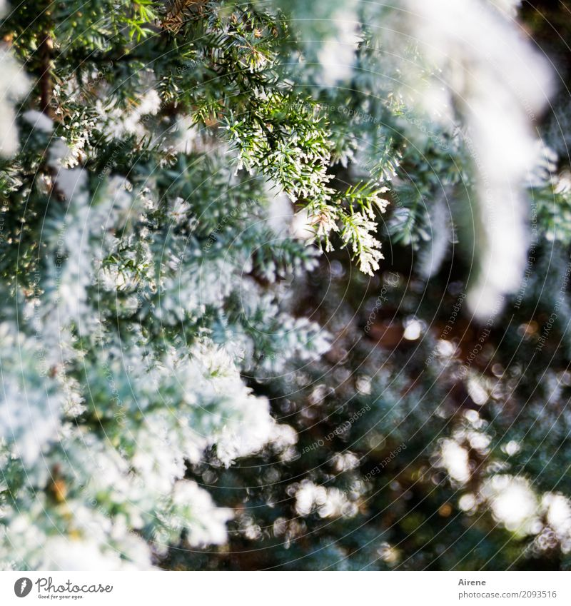 freezer Plant Winter Beautiful weather Ice Frost Snow Tree Bushes Juniper Twigs and branches Freeze Fresh Cold Green White Refreshment Colour photo