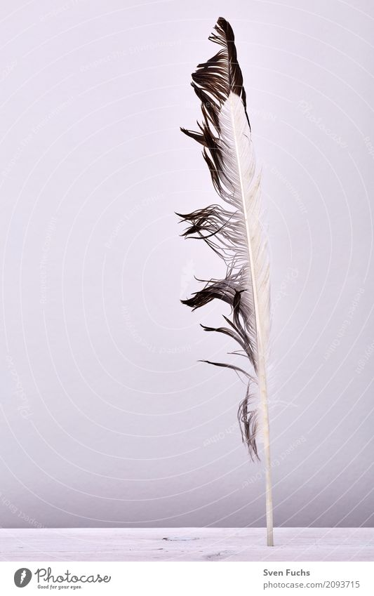 nib Wood Soft feathers Feather Easy Beaded Keel Wood grain Living thing Flying Colour photo Subdued colour Studio shot Deserted Copy Space left Copy Space top