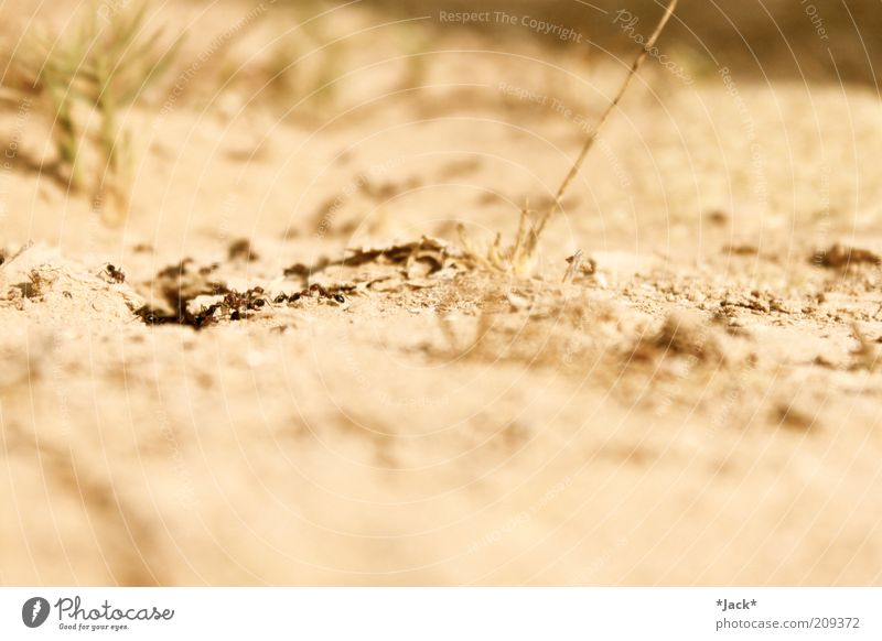 desert children Animal Group of animals Ant Desert Sparse Colour photo Exterior shot Close-up Copy Space top Copy Space bottom Blur Sand Diligent Day