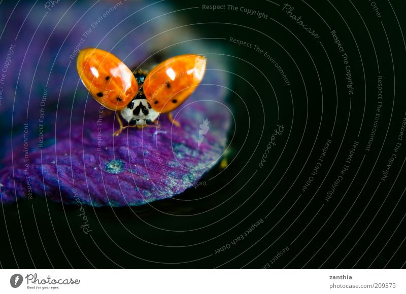 Nature Red Black Animal Blossom Movement Environment Flying Violet Wing Natural Ladybird Crawl Graceful Departure Insect