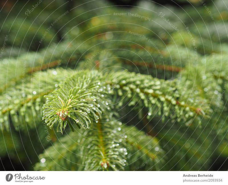 Nature Christmas & Advent Summer Beautiful Green Tree Natural Rain Drops of water Christmas tree Fir tree Coniferous trees Fir needle Tree nursery