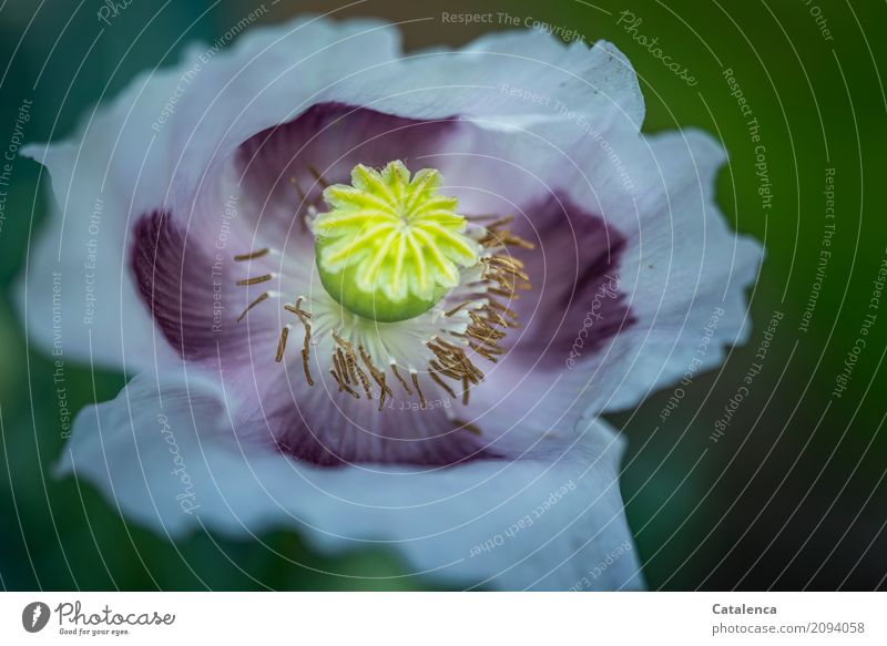 Monday poppy pink Nature Plant Summer Flower Blossom Poppy Poppy blossom Garden Blossoming Faded Esthetic Brown Yellow Green Violet Pink Moody Transience Design