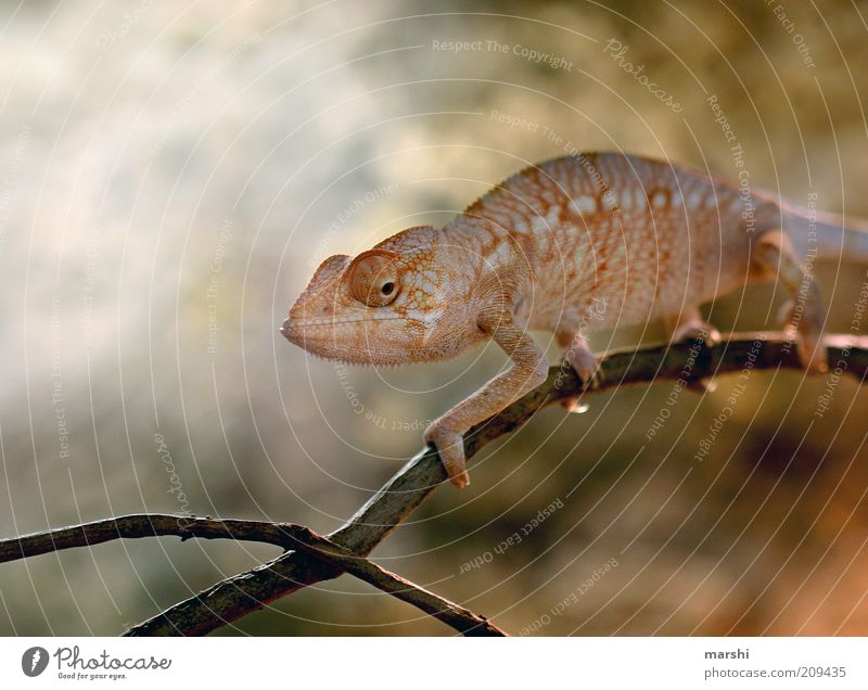 My friend the Glubschi Nature Animal Zoo 1 Yellow Chameleon Exotic Looking Eyes Branch Reptiles Change Colour photo Orange Orange-red Exterior shot Blur