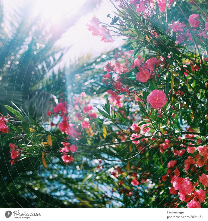 Nature Vacation & Travel Plant Blue Summer Beautiful Green Sun Flower Warmth Pink Beautiful weather Hot Mediterranean Palm tree South