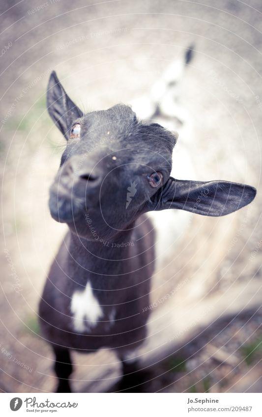 Capra Aegagerus Knuddelensis Animal Pet Farm animal Petting zoo 1 Baby animal Stand Curiosity Cute Beg Goats Kid (Goat) Day Colour photo Exterior shot Deserted
