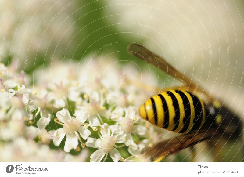 Nature White Green Summer Black Yellow Blossom Bright Fresh Wing Delicate Wild animal Beautiful weather Striped Thorny Blossom leave