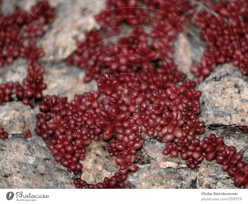 Plant Red Stone Growth Round Many Dry Bud Fat Bizarre Column Overgrown Wild plant Wall plant Disperse Niche