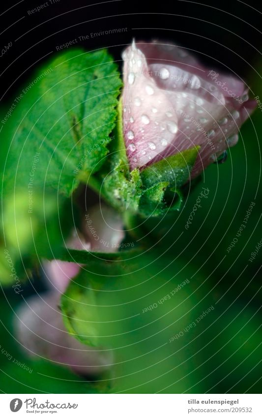 Refreshment? Summer Environment Nature Plant Drops of water Bad weather Rain Flower Leaf Blossom Fresh Wet Natural Wild Green Pink Blur Colour photo