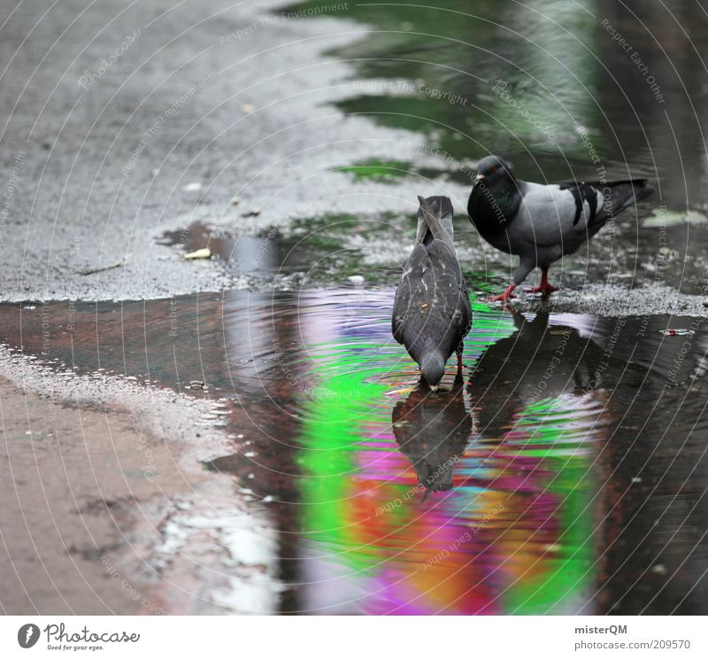 Nutrition Animal Bird Pair of animals Wet Drinking Pigeon Puddle Back-light Foraging Water reflection Nuisance Photos of everyday life