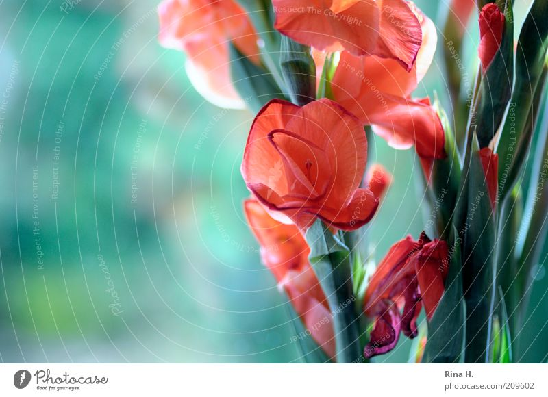 Gladiioles at the window Plant Summer Flower Blossoming Illuminate Faded Esthetic Positive Green Red Joie de vivre (Vitality) Bouquet Gladiola Colour photo