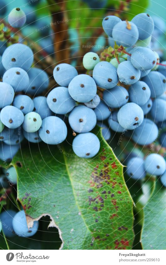 Nature Blue Plant Leaf Small Multiple Round Bushes Turquoise Many Hang Berries Fruit Sky blue Covered