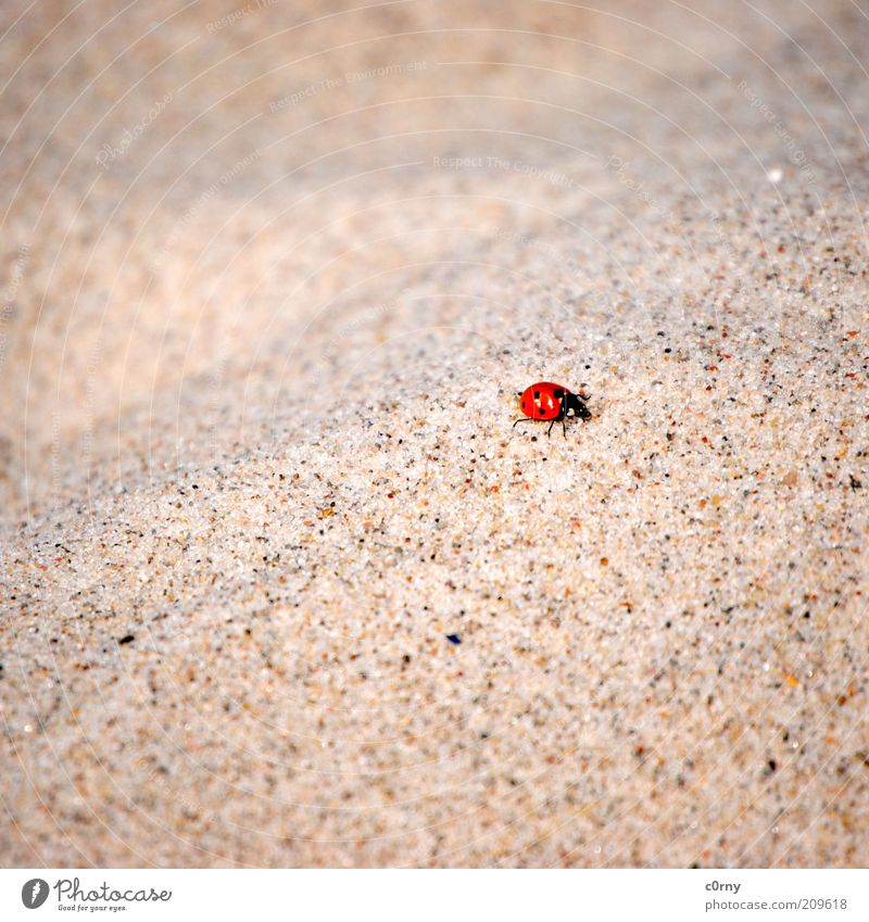 hard knock life Nature Sand Ladybird 1 Animal Crawl Colour photo Subdued colour Close-up Deserted Grain of sand Copy Space Movement Small Beach Blur