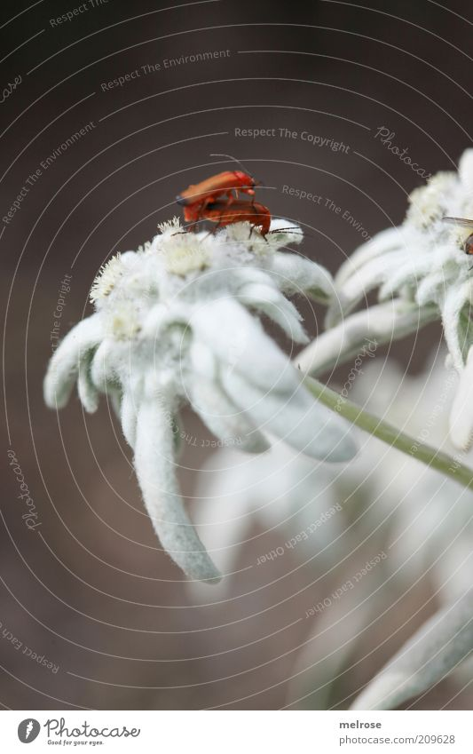 ... caught ... Nature Plant Summer Wild plant Animal Beetle 2 Pair of animals Touch Blossoming Crawl Brown White Love of animals Colour photo Exterior shot