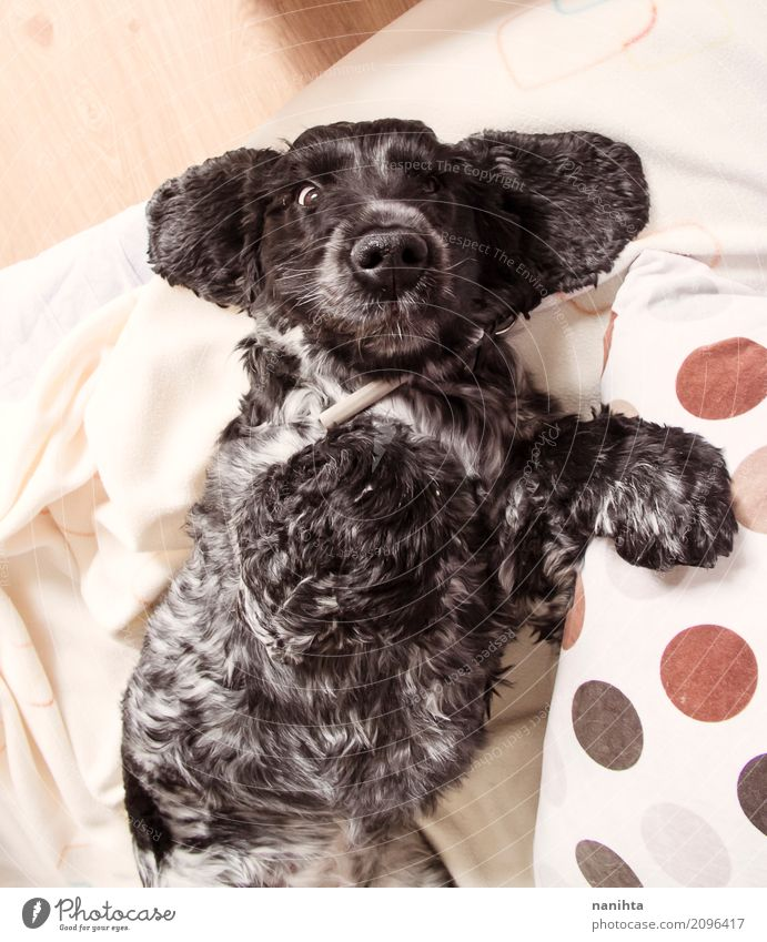 Lovely and funny cocker spaniel dog Dog White House (Residential Structure) Animal Black Funny Healthy Natural Brown Moody Lie Fresh Authentic Happiness Observe