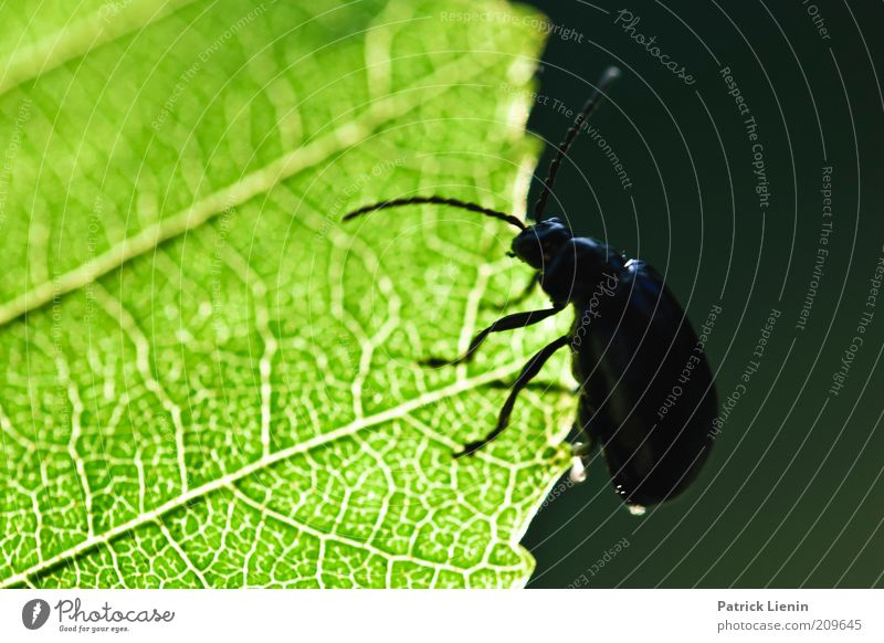 Nature Green Beautiful Plant Summer Leaf Animal Dark Environment Bright Wild animal Beetle Feeler Crawl Rachis Foliage plant