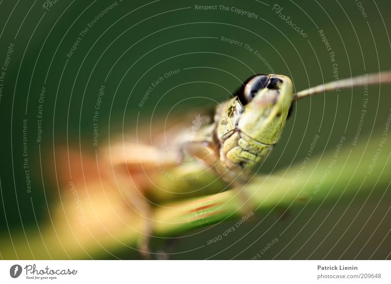 grasshopper Environment Nature Animal Summer Wild animal Animal face 1 Observe Movement Discover Crawl Looking Authentic Exotic Large Locust Colour photo