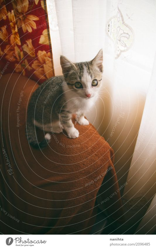 Little tabby cat at home House (Residential Structure) Room Living room Animal Pet Cat Animal face 1 Baby animal Curtain Friendliness Astute Funny Curiosity