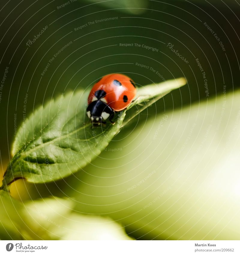 Marie Ann Beetle Leaf Foliage plant 1 Animal Cute Round Ladybird Point Spotted Red Insect Colour photo Exterior shot Copy Space top Deserted