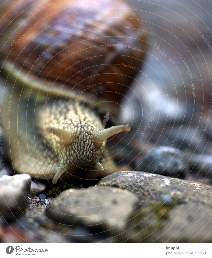 I'm moving! Calm Trip Summer Environment Nature Animal Sunlight Snail Animal face 1 Stone Brown Gray Vineyard snail Slowly Slimy Snail shell Colour photo