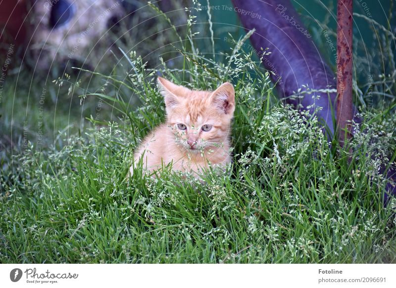 Little Red Environment Nature Plant Animal Summer Grass Garden Meadow Pet Cat Animal face Pelt 1 Baby animal Small Natural Curiosity Cute Soft Brown Gray Green