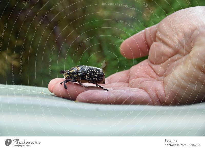 walker Human being Feminine Skin Hand Fingers 1 Environment Nature Animal Beetle Large Natural May bug Colour photo Multicoloured Exterior shot Close-up Day
