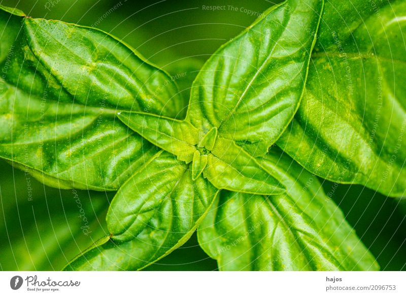 Basil, Ocimum basilicum Herbs and spices Italian Food Fragrance Delicious Green near name sheets Valued Spicy Italien pesto Mediterranean Kitchen