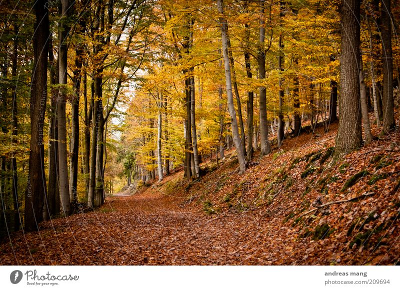 gold Environment Nature Autumn Beautiful weather Tree Leaf Forest Lanes & trails Gold Hope Longing Expectation Dream Colour photo Autumn leaves Autumnal colours