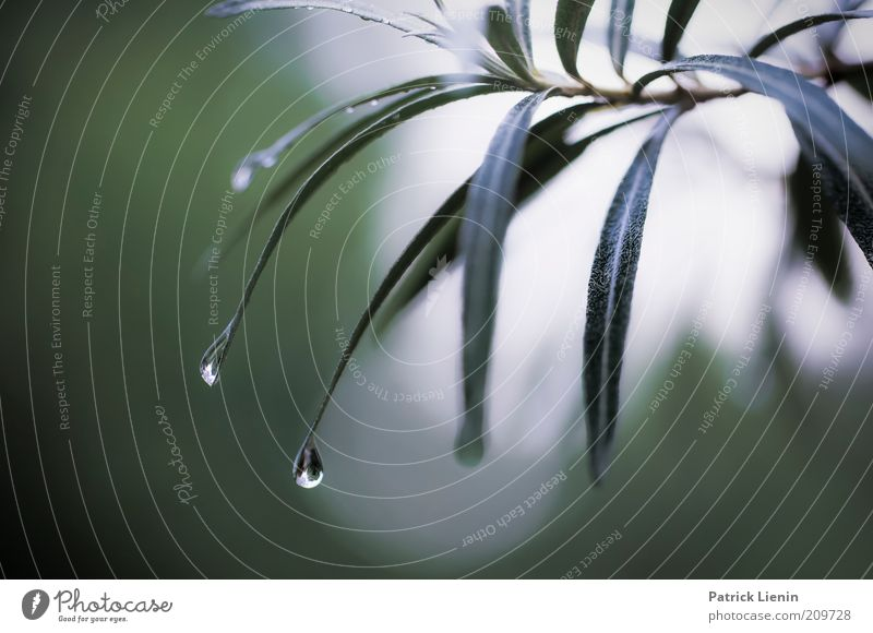 raindrops keep falling Environment Nature Plant Water Drops of water Summer Weather Bad weather Rain Bushes Foliage plant Exotic Hang Moody Calm Purity To fall