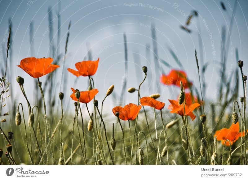 poppy field Environment Nature Landscape Grass Wild plant Meadow Field Beautiful Green Red Esthetic Fragrance Growth Poppy Colour photo Exterior shot Close-up