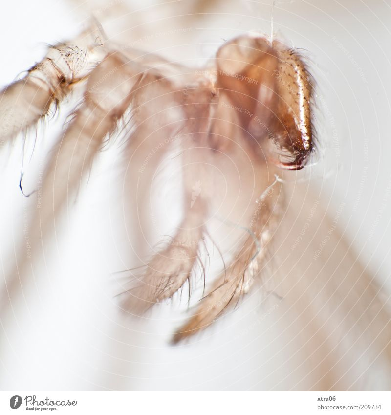 skin-near 1 Animal Authentic Insect Spider spider's skin Hide Transparent Colour photo Close-up Detail Macro (Extreme close-up) Neutral Background