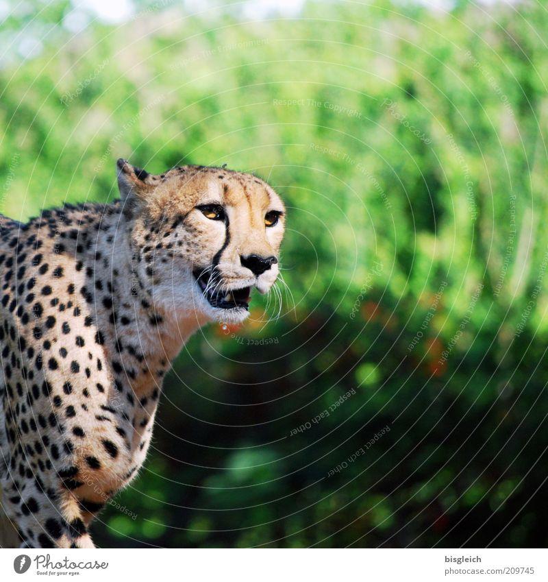 Green Animal Yellow Cat Animal face Pelt Breathe Attentive Cheetah Snarl