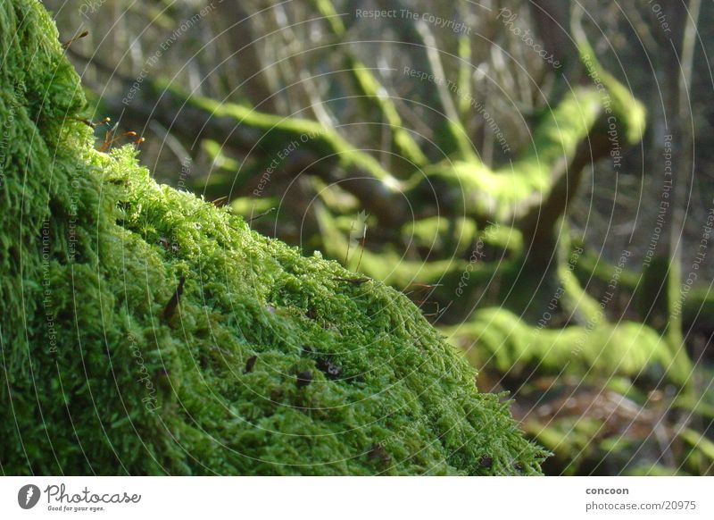 macromoos Tree Green Brittle Bog Decline Scotland Twig Branch Old Nature Moss