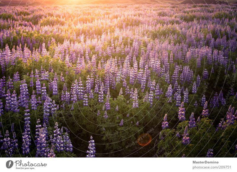 lupins Environment Nature Landscape Plant Sunrise Sunset Sunlight Flower Wild plant Lupin Lupine field Infinity Beautiful Violet Safety (feeling of)