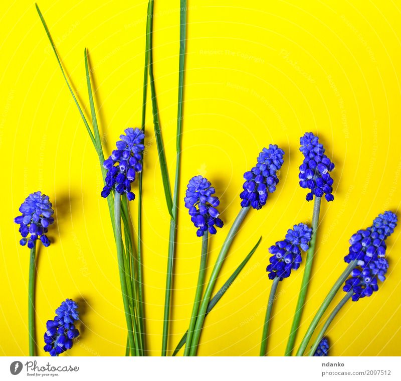 blue flowers, mouse hyacinth Nature Plant Blue Summer Beautiful Green Flower Leaf Yellow Blossom Natural Garden Feasts & Celebrations Bright Decoration Fresh