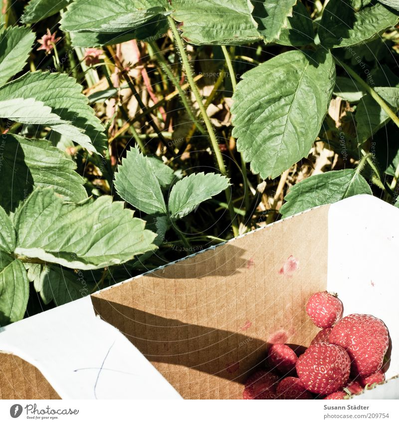 X Food Fruit Nutrition Organic produce Vegetarian diet Sweet Strawberry Pick Harvest Leaf Plant strawberry country Carry handle Red Fresh Summer Exterior shot