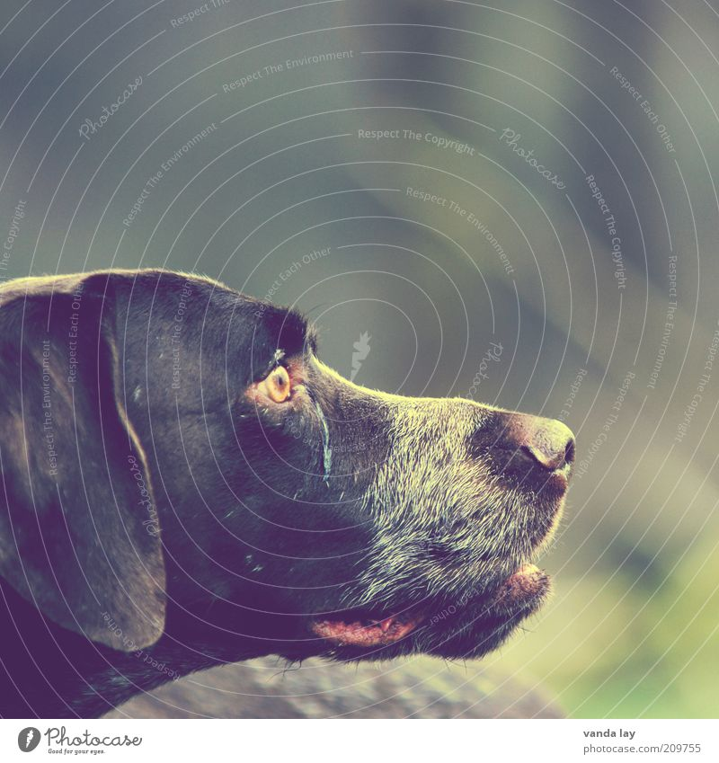 amiable Animal Pet Dog 1 Loyal German Shorthair Hunting Hound Colour photo Copy Space right Copy Space top Isolated Image Blur Shallow depth of field