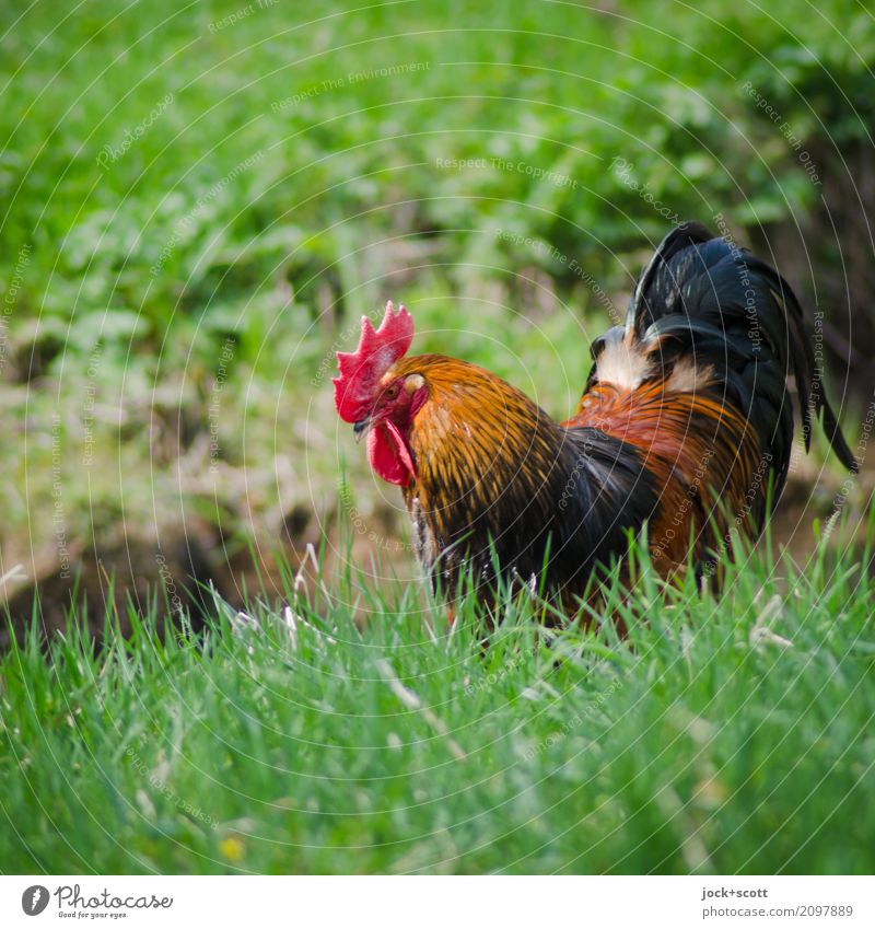 Walk on grass Green Animal Environment Meadow Healthy Grass Contentment Free Idyll Authentic Watchfulness To feed Patient Juicy Rooster Franconia