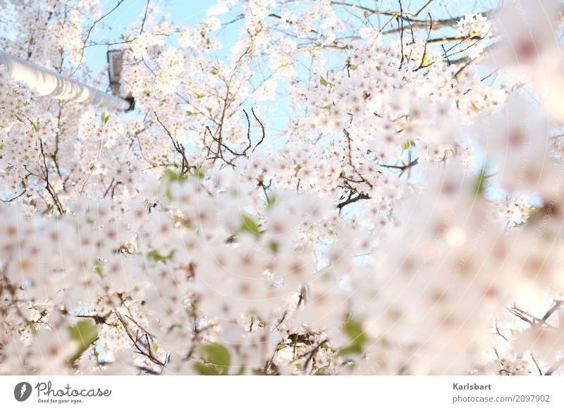 Airy | Airy Tralalalala Nature Plant Sky Cloudless sky Spring Beautiful weather Tree Blossom Park Bright Beginning Creativity Moody Dream Blossoming