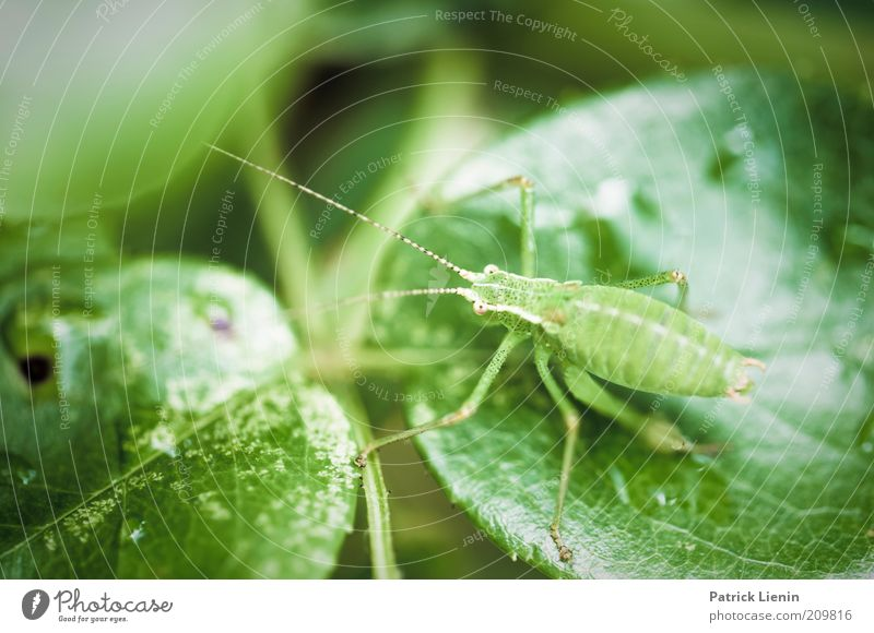 green hop Environment Nature Plant Animal Summer Leaf Foliage plant Agricultural crop Garden Wild animal Animal face 1 Sit Locust Green Feeler Curiosity Looking