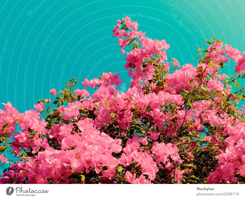 Bush of Bougainvillea flowers Plant Blue Summer Colour Beautiful Green Flower Leaf Blossom Natural Garden Pink Decoration Retro Fresh Romance