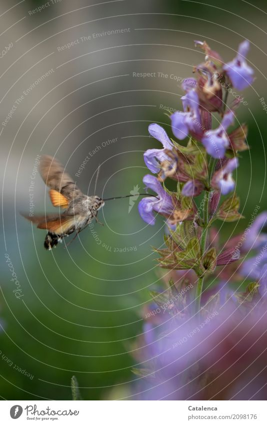 refuel Nature Plant Animal Summer Blossom Sage Sage blossom Garden Butterfly dovetails 1 Blossoming Flying Drinking Faded Esthetic Athletic Brown Green Violet