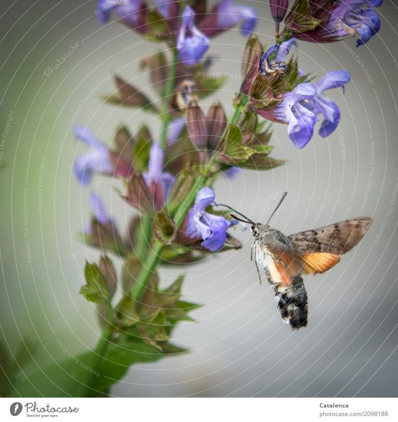 pigeon tails and sage blossoms Plant Animal Summer Leaf Blossom Sage Garden Butterfly dovetails Moth 1 Blossoming Fragrance Flying Drinking Speed Brown Green