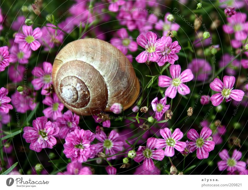 Snail in the flower field. Environment Nature Plant Animal Summer Flower Blossom 1 Brown Violet Pink Colour photo Exterior shot Deserted Snail shell Blossoming