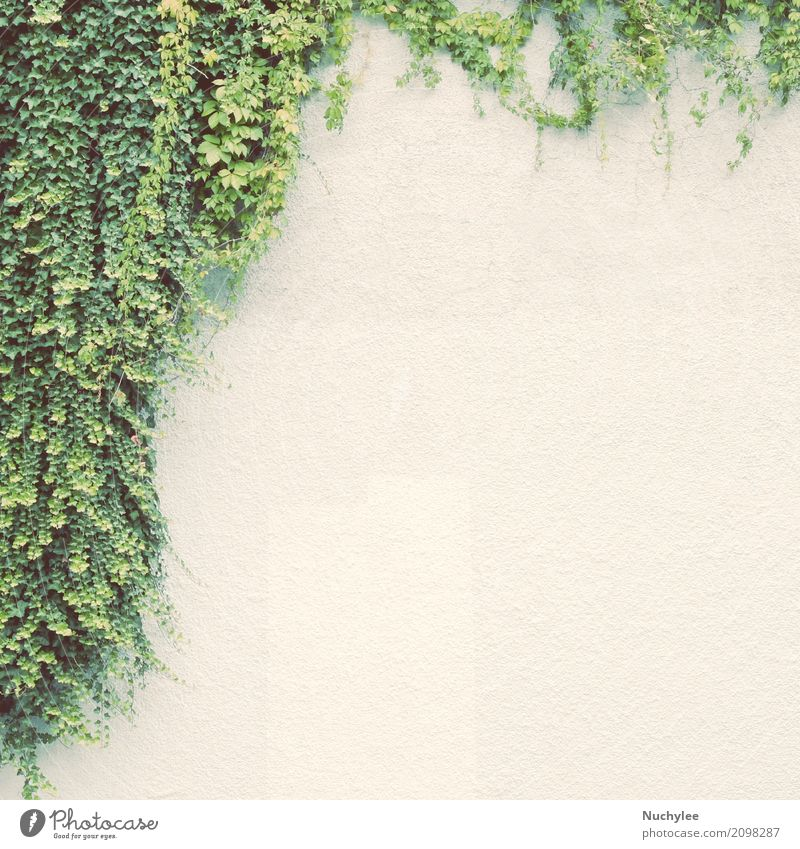Ivy plant on white wall Nature Plant Summer Green White Tree Landscape Leaf Environment Life Spring Lanes & trails Natural Garden Growth Decoration