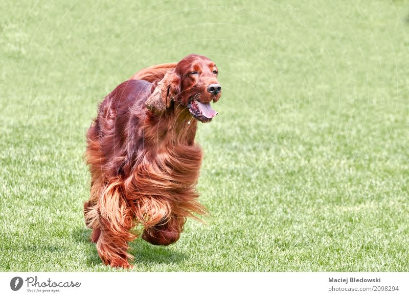 Irish setter Nature Dog Summer Beautiful Green Red Animal Joy Meadow Grass Happy Brown Friendship Copy Space Happiness Joie de vivre (Vitality)