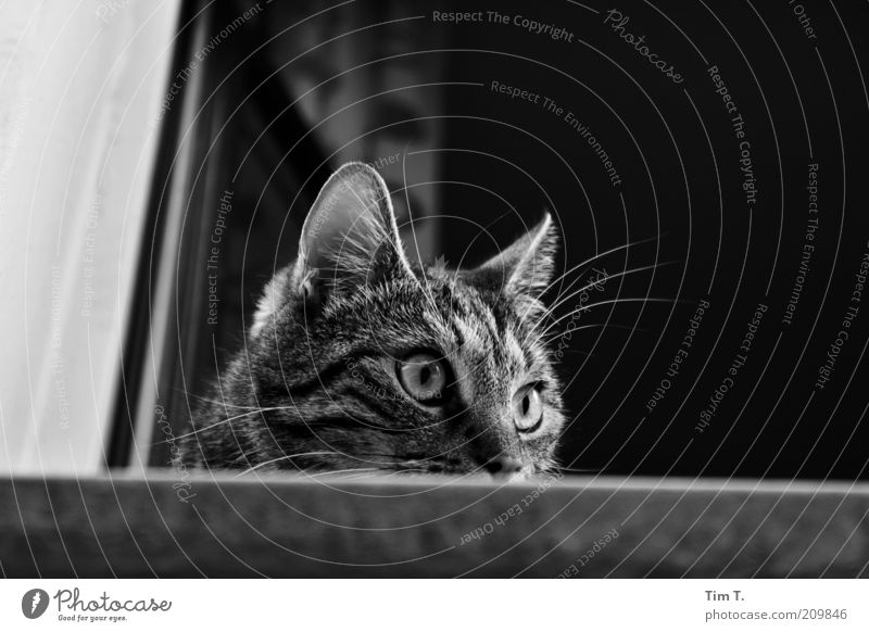 Animal Window Cat Open Animal face Observe Curiosity Watchfulness Pet Domestic cat Attentive Black & white photo Cat eyes Windowsill Window seat Gaze