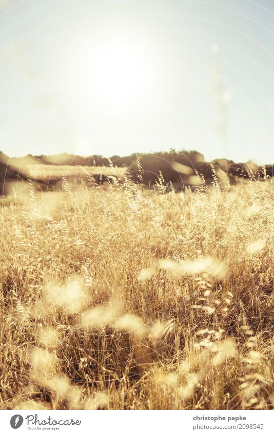 Reap what you sow Sun Beautiful weather Plant Agricultural crop Field Blossoming Wheat Wheat ear Gold Yellow Colour photo Exterior shot Detail Deserted